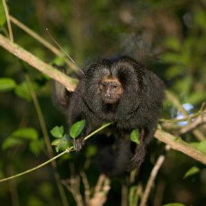 Black Lion Tamarin sat in tree