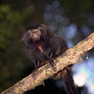 Black Lion Tamarin in forest