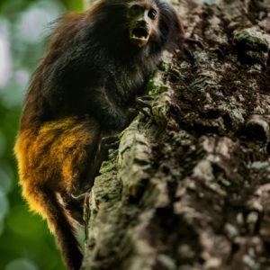 Black Lion Tamarin climbing tree
