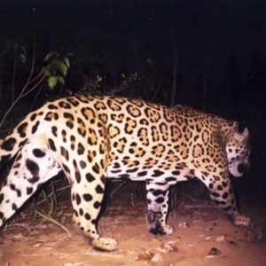 Jaguar caught in camera trap
