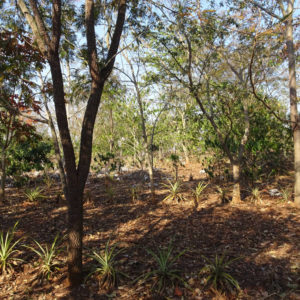 Agroforestry with thin tree canopy
