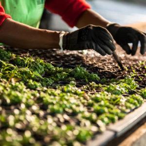 Worker planting the seedlings
