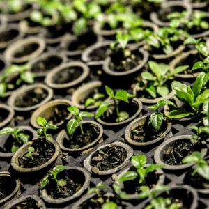 Nursery young seedlings